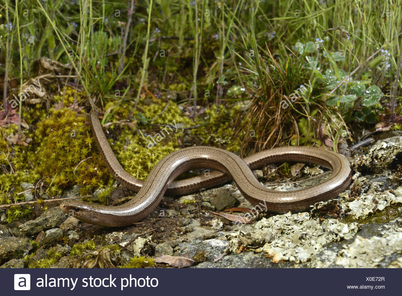 Eastern slow worm, blindworm, slow worm (Anguis fragilis colchica, Anguis colchica), female winding on the ground, Bulgaria, Biosphaerenreservat Ropotamo Stock Photo