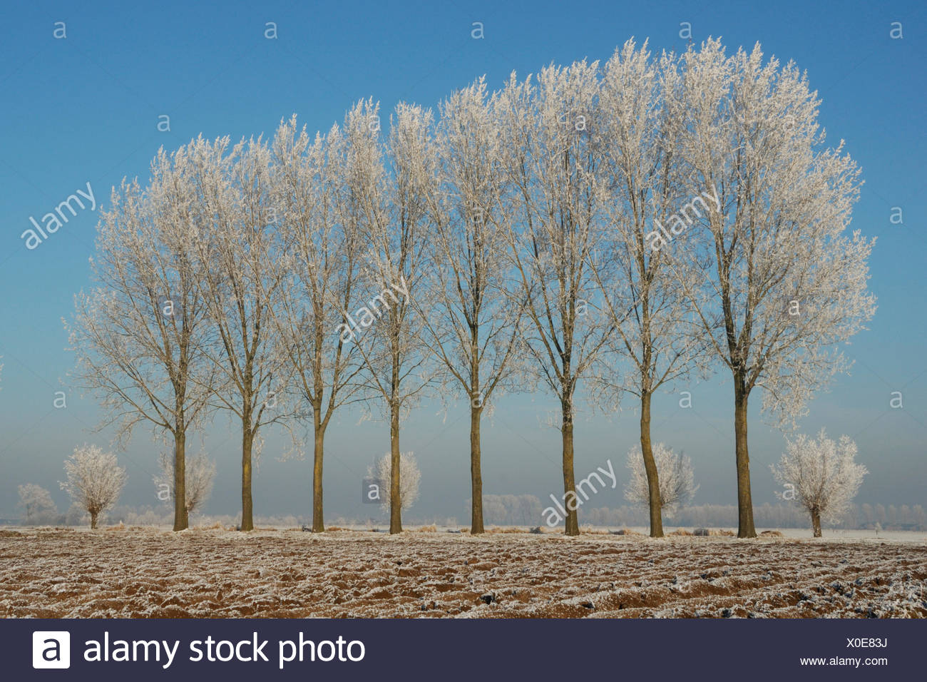 Poplars covered with frost in winter landscape Stock Photo