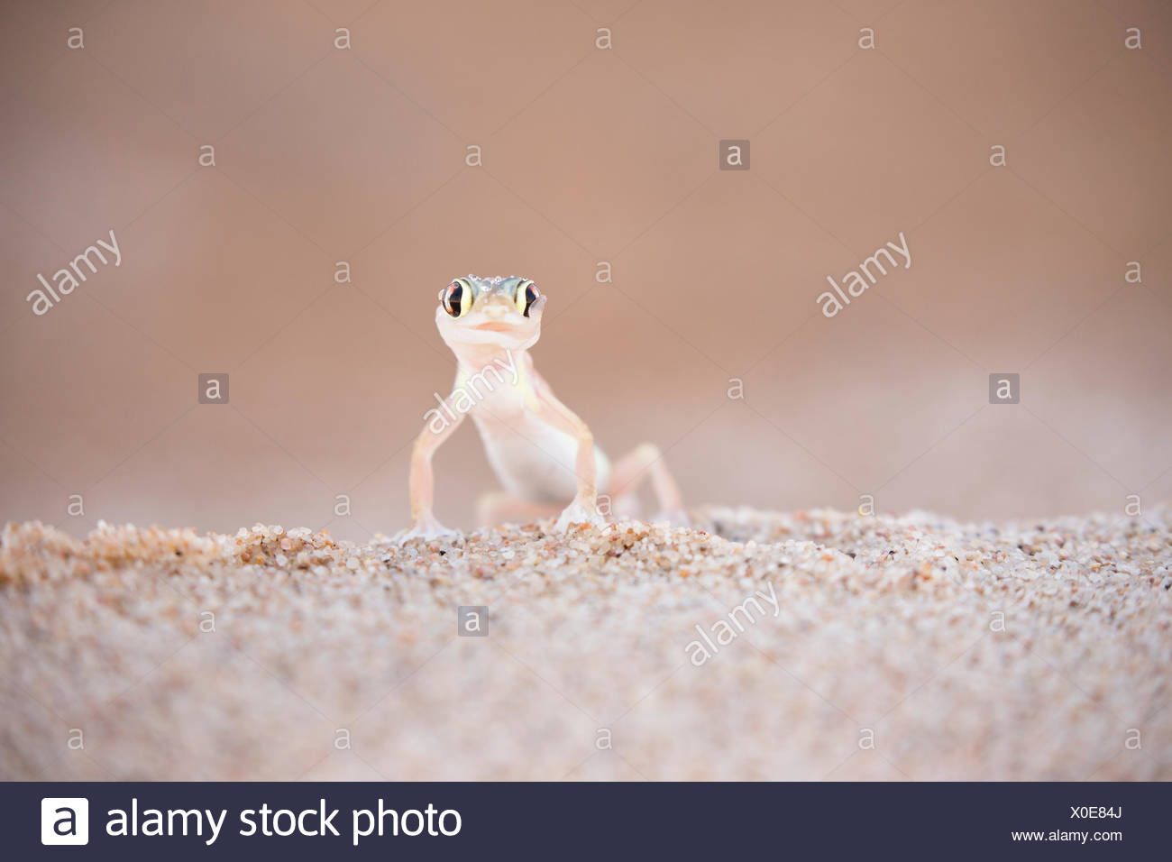 Palmato Gecko (Palmatogecko rangei) licking water droplets off its eye in the early morning in the Dorob Reserve, Namibia, Dorob Desert Reserve Stock Photo