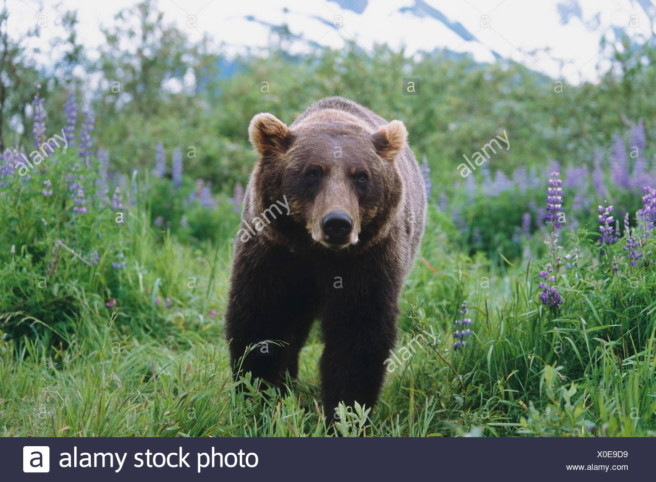 Brown Bear walking amongst Lupine wildflowers at the Alaska Wildlife Conservation Center, Southcentral Alaska CAPTIVE - Stock Image