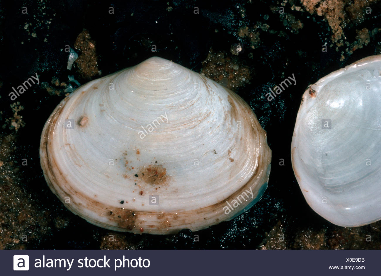 Peppery furrow clam, Peppery furrow shell (Scrobicularia plana), shells on moist ground Stock Photo