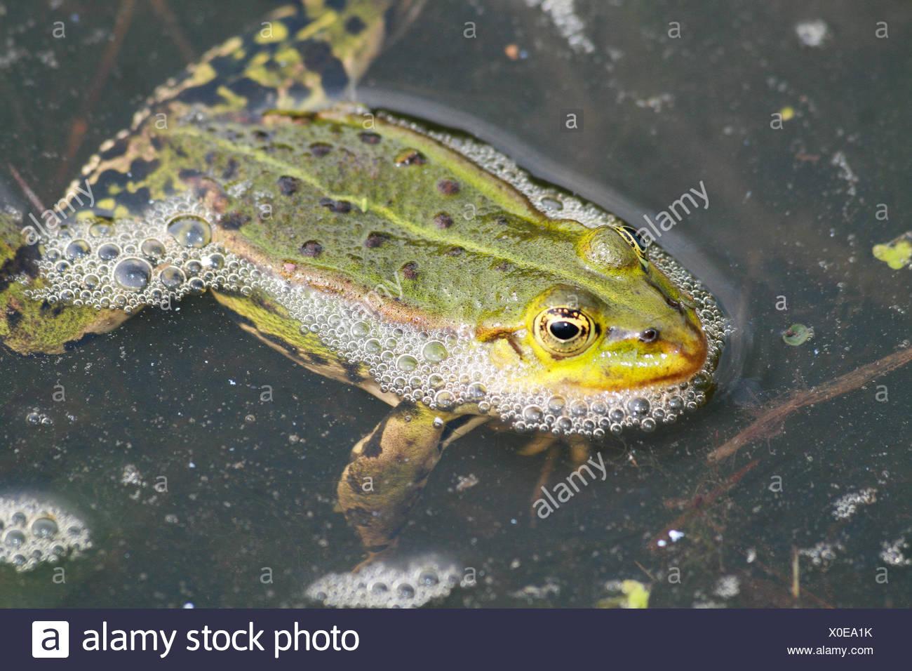 Close-up of a frog, Enschede, Overijssel, Holland - Stock Image