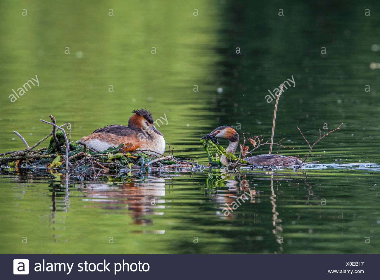 great crested grebe (Podiceps cristatus), bringing nesting material to the nest with breeding mate, Germany, Bavaria - Stock Image