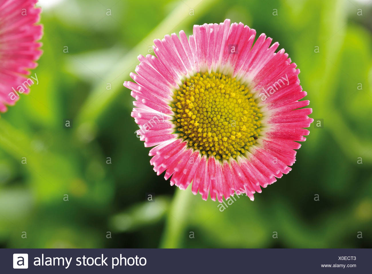 Pink english daisy flower asteraceae stock photos pink english common daisies bellis perennis stock image izmirmasajfo