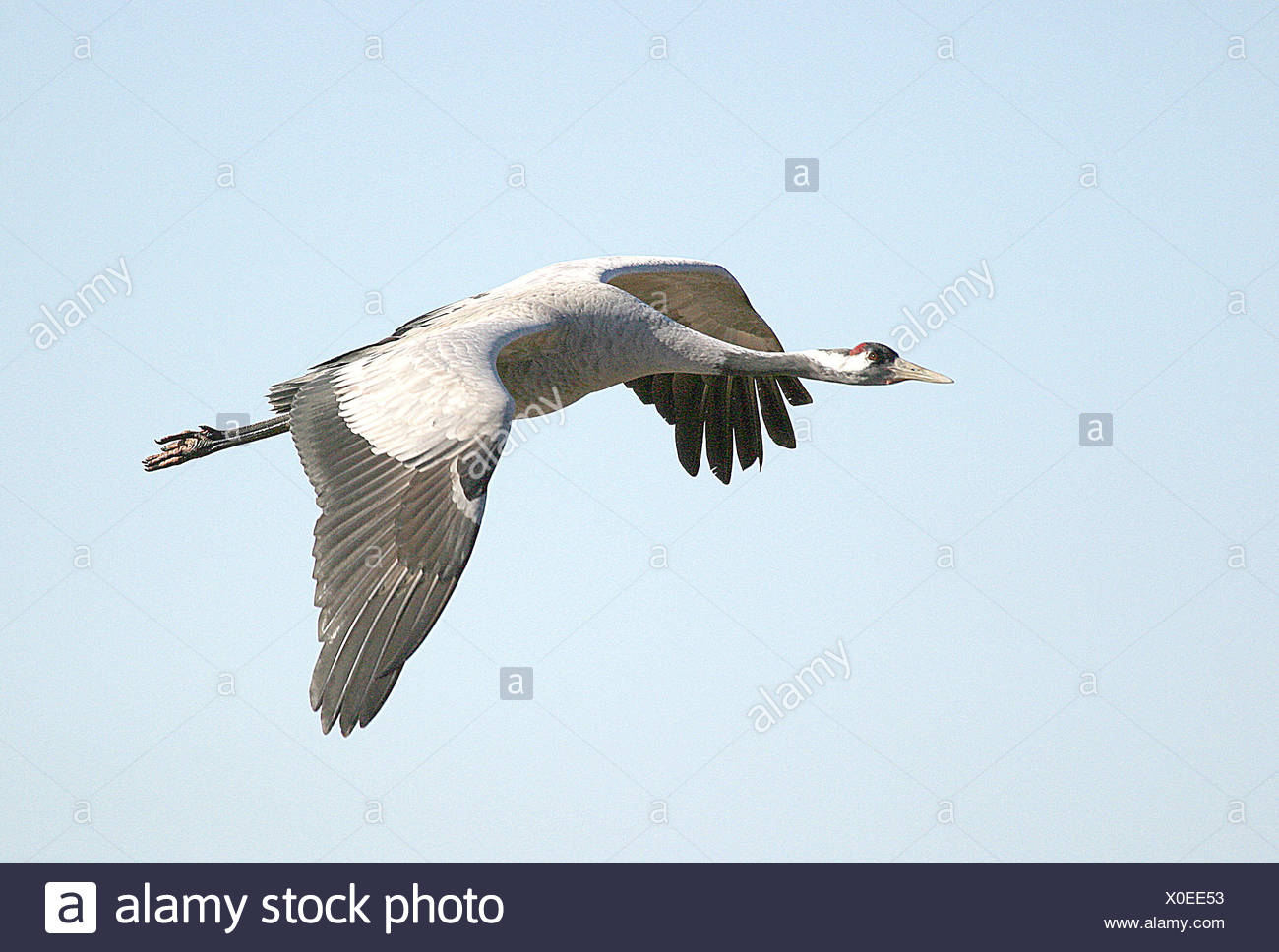 bird birds sweden crane grus grus common crane grauer kranich eurasischer Stock Photo