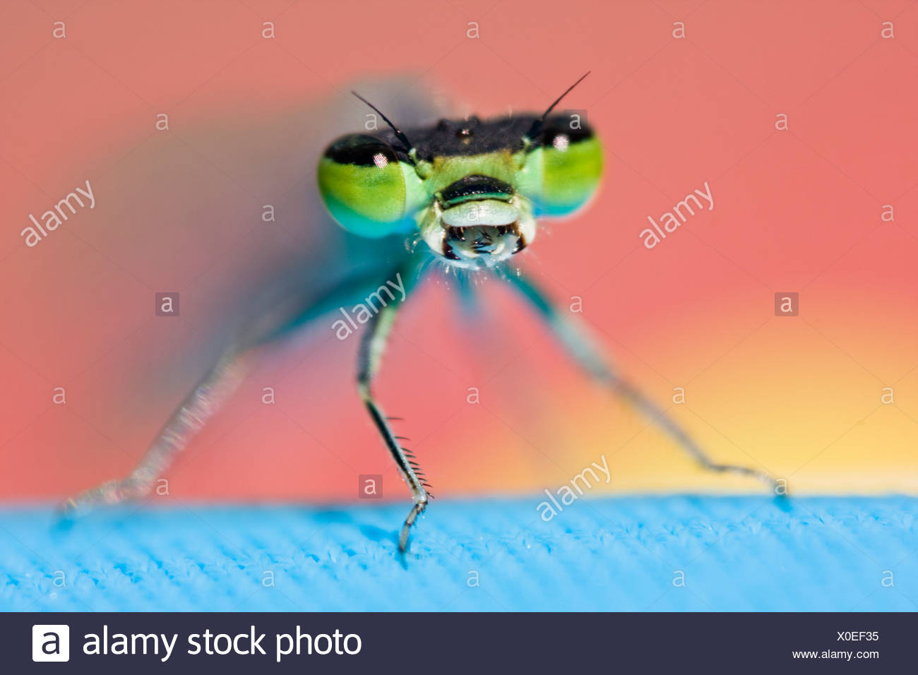 Close-up of dragonfly with mouth open - Stock Image