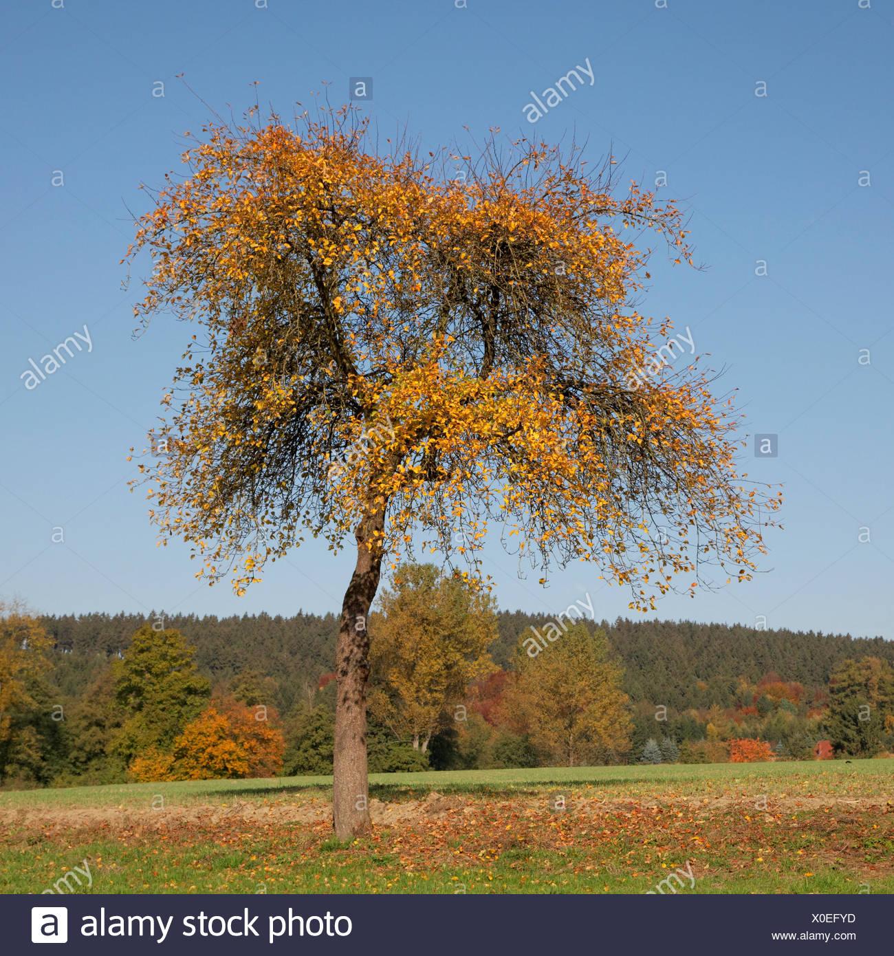 cherry tree - Stock Image