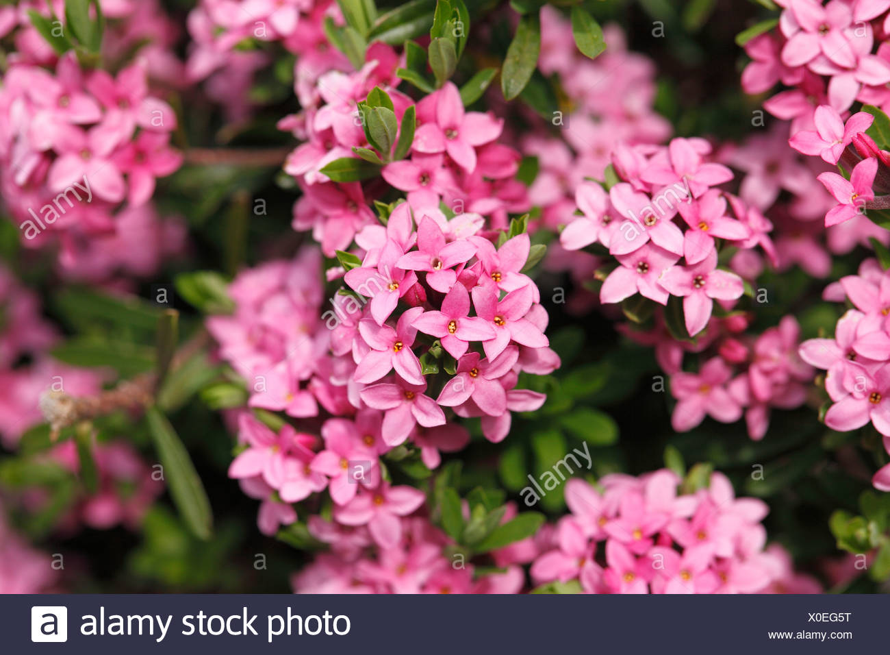 Garland flower or Rose Daphne (Daphne cneorum), Styria, Austria, Europe - Stock Image