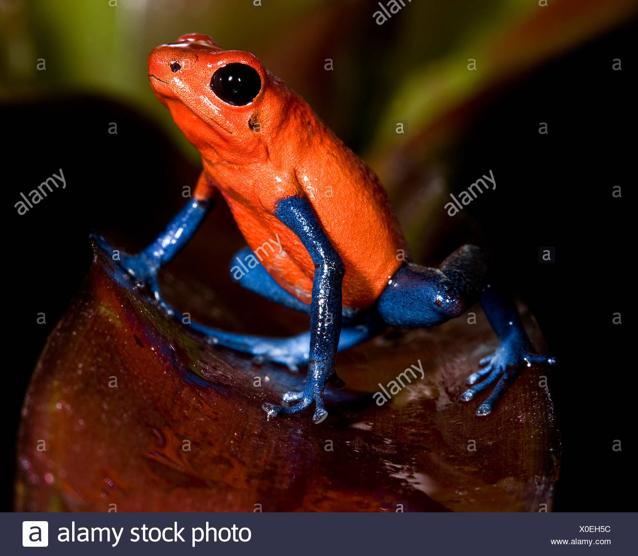 central america frog frogs - Stock Image