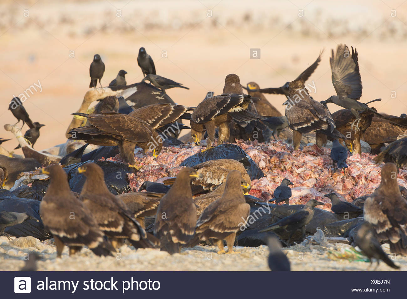 Steppe Eagle ( Aquila nipalensis) foraging at a landfill site - Stock Image