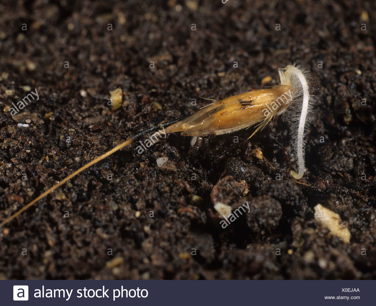 Wild oat Avena fatua seed with single radicle beginning to penetrate the soil Stock Photo