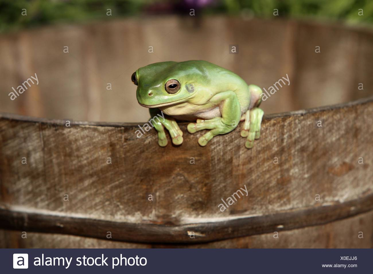 Australian green tree frog - Stock Image