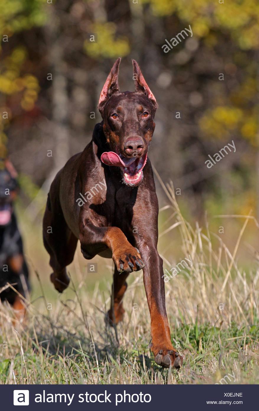 Running dog - Stock Image