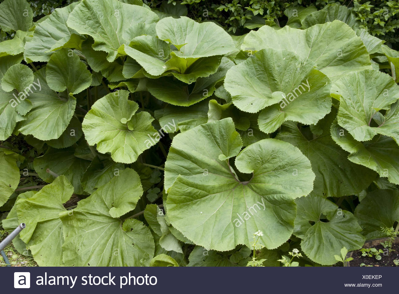 Asteraceae herbaceous perennial perennials butterbur butterburts asteraceae herbaceous perennial perennials butterbur butterburts japonicus huge big leaf leaves giant nature petasites plant mightylinksfo
