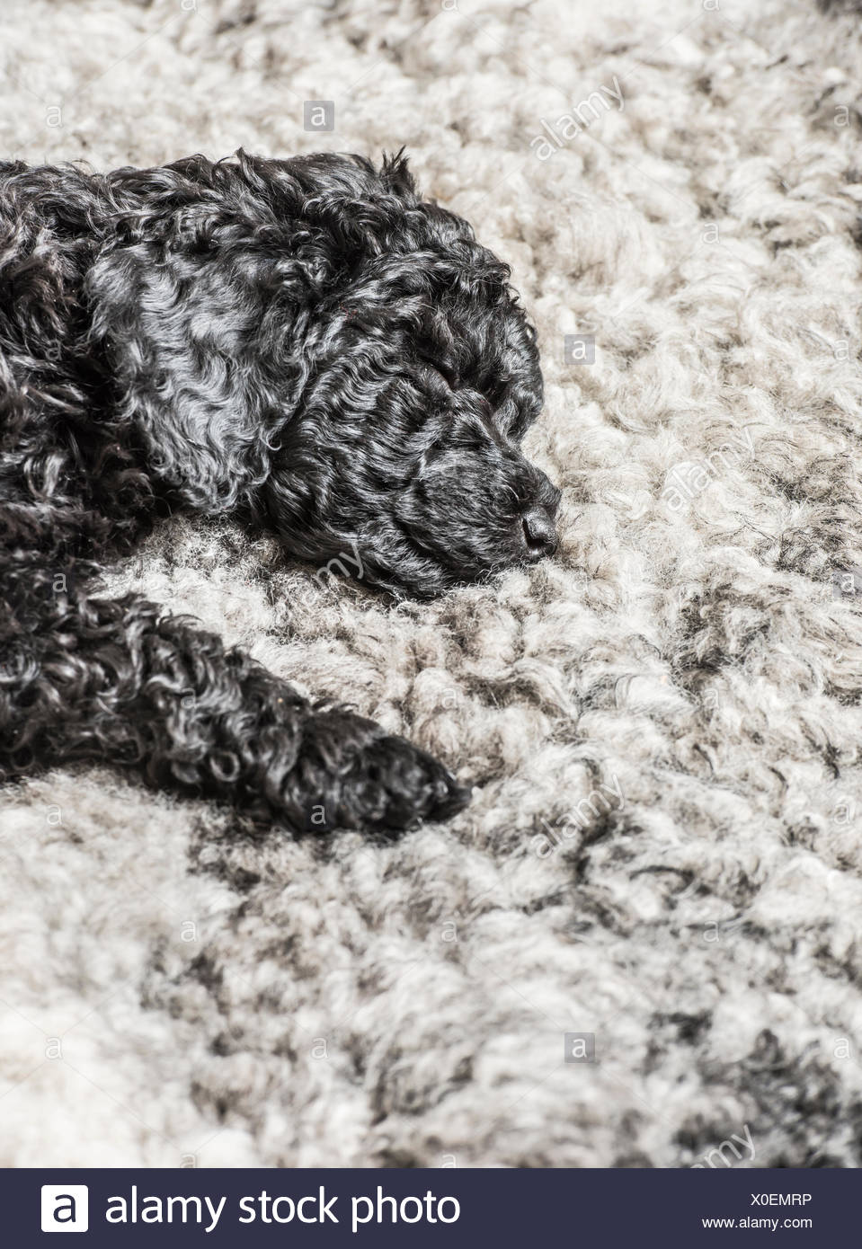 Black poodle puppy sleeping on grey fur - Stock Image