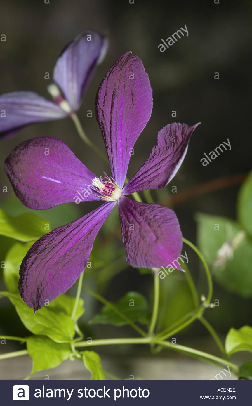 violett blossom - Stock Image