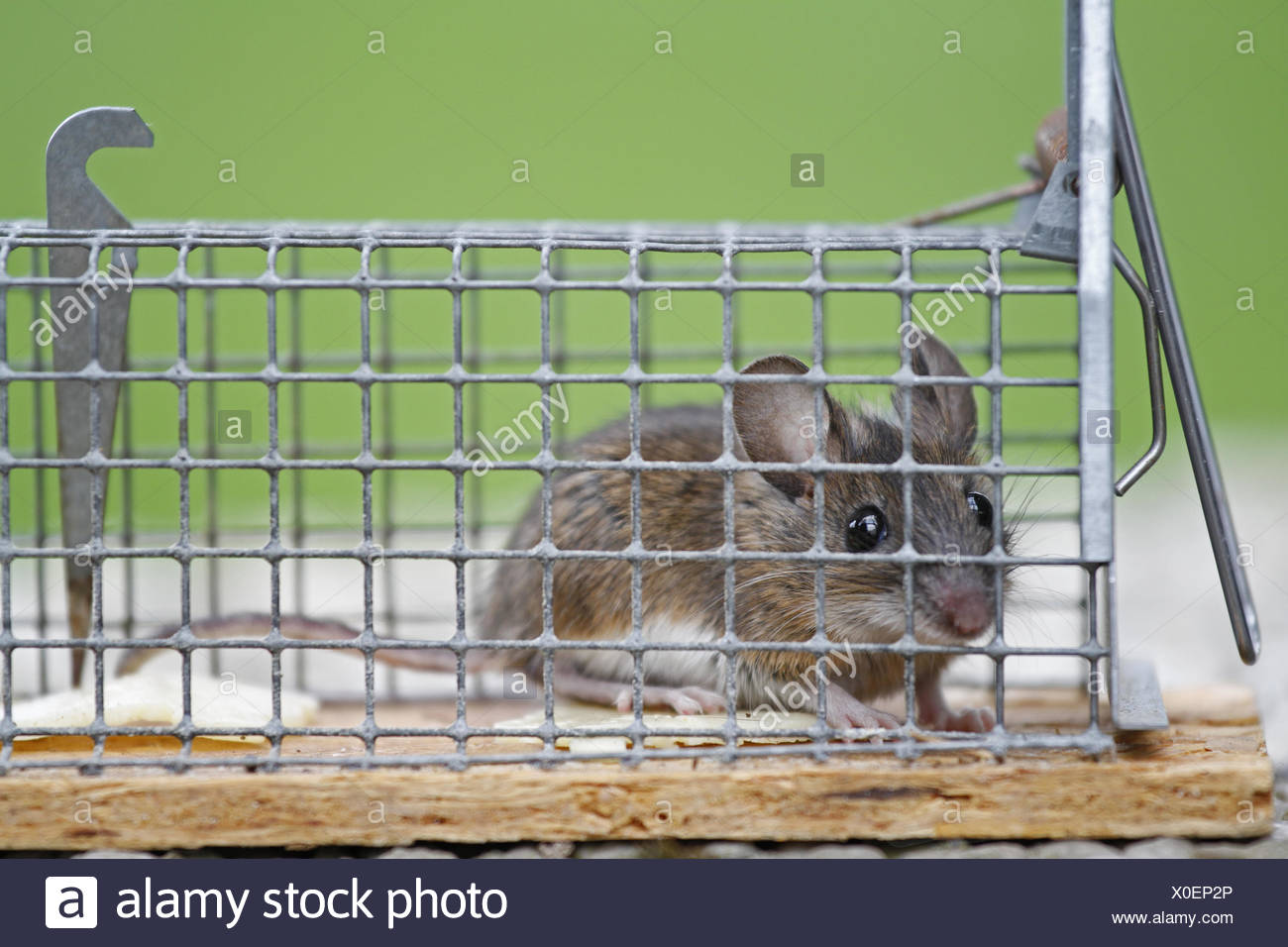 mouse in a life event - Stock Image