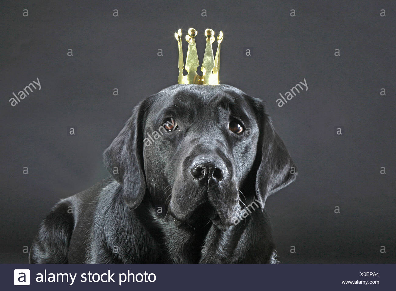 Labrador Retriever with crown - portrait - Stock Image