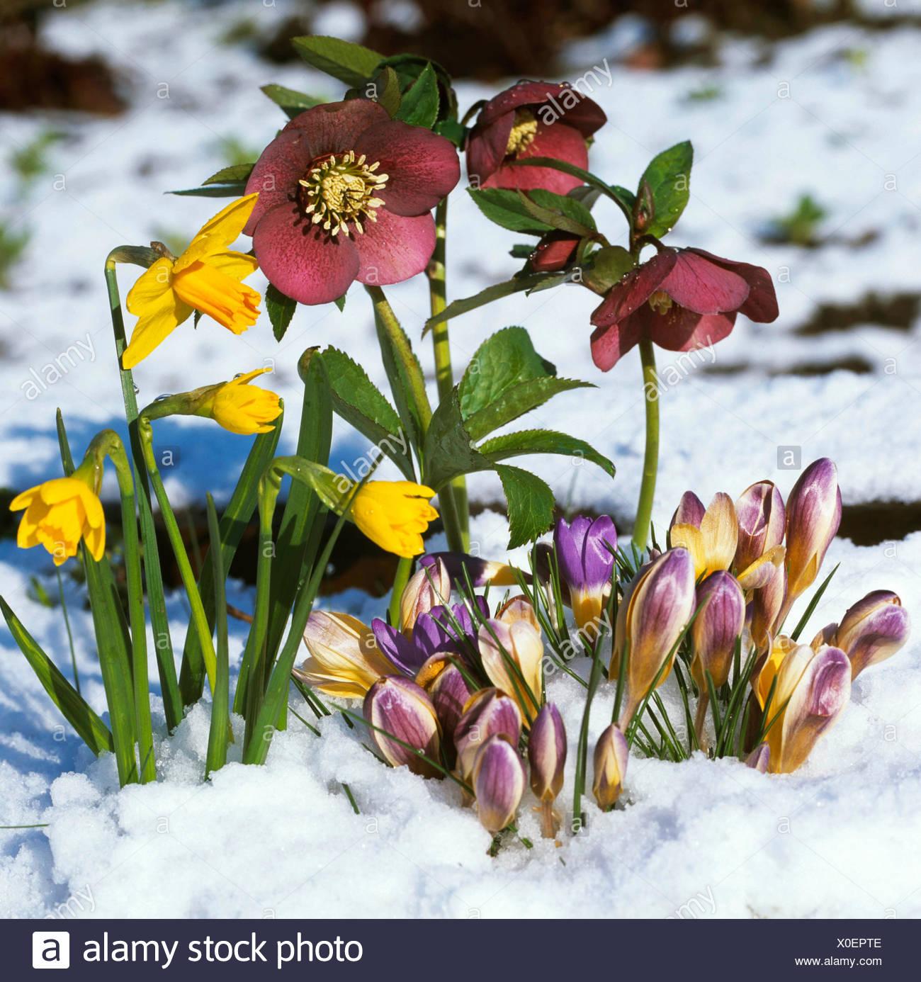 ae39b5063cde38 Crocus Chrysanthus Advance Stock Photos   Crocus Chrysanthus Advance ...