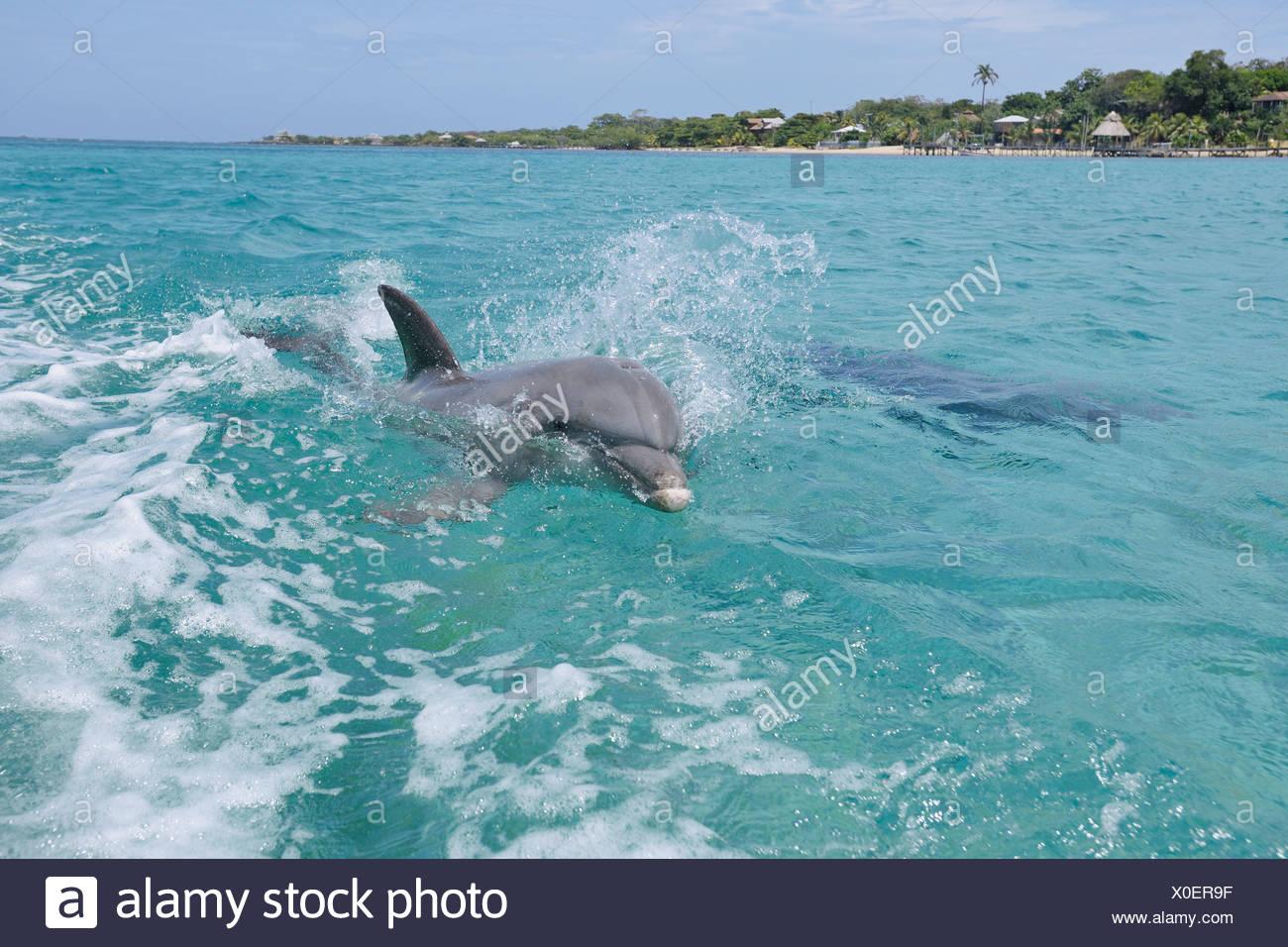 Latin America, Honduras, Bay Islands Department, Roatan, Caribbean Sea, Two bottlenose dolphins swimming in seawater surface Stock Photo