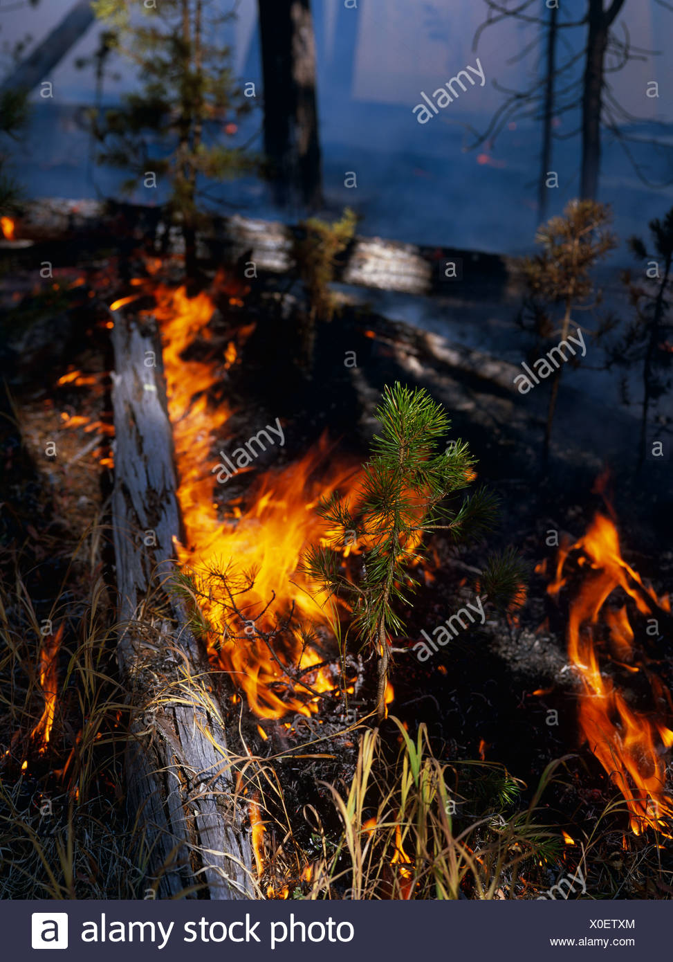 Lodgepole Pine seedling during wildfire, Hayden Valley, Yellowstone National Park, Wyoming, USA - Stock Image