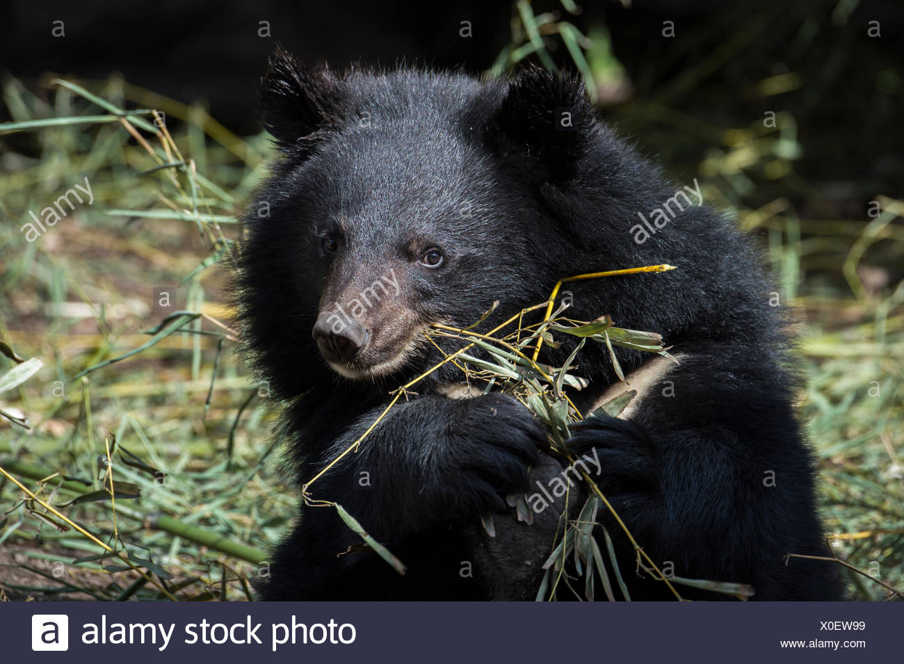 Portrait of a rescued Asiatic black bear. - Stock Image