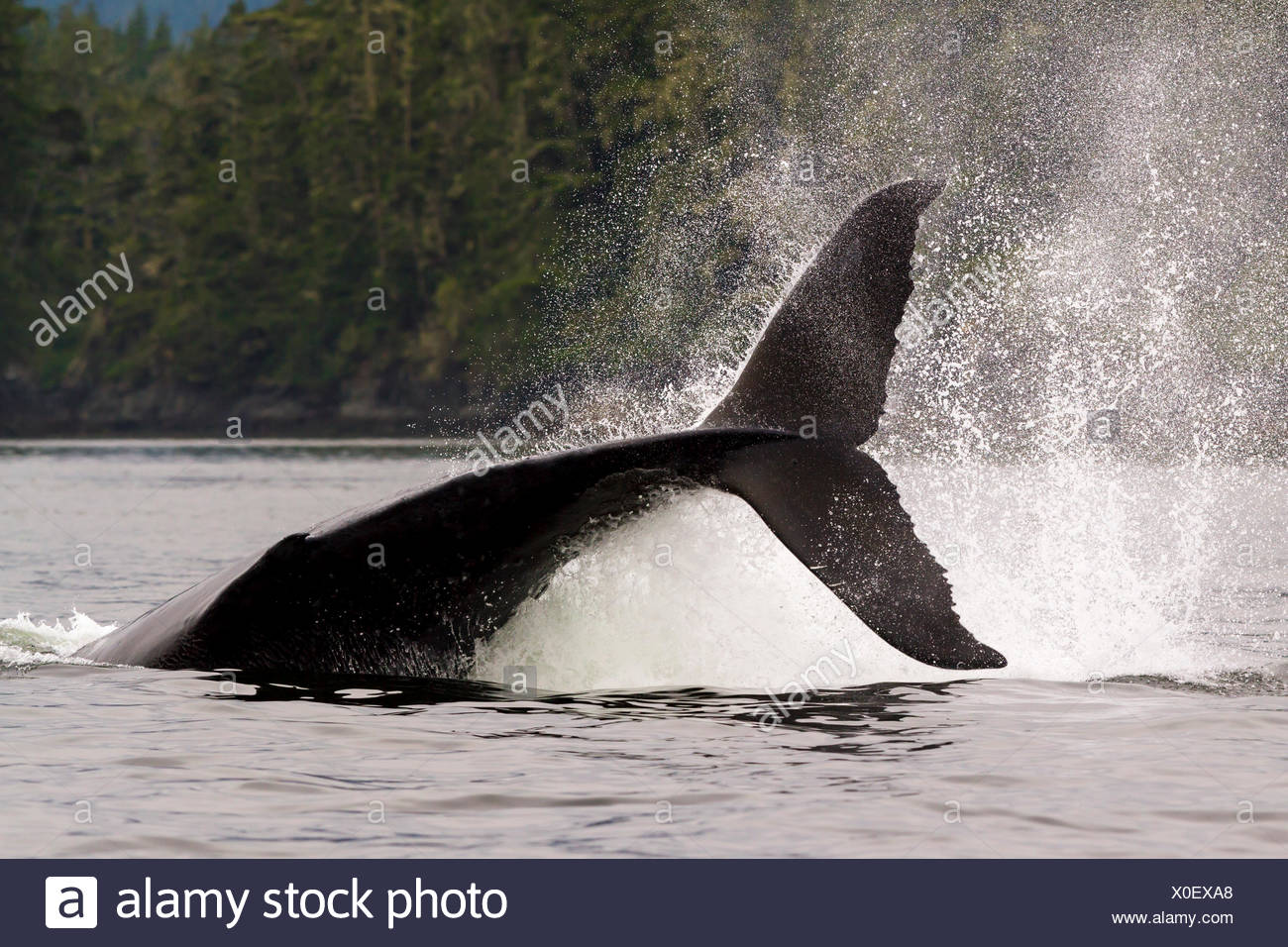 A large male humpback whale hitting his large tail fluke onto the water, aka tail slapping, in Knight Inlet, British Columbia, Canada - Stock Image