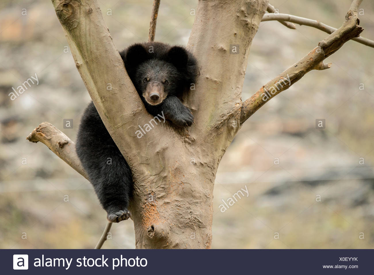 A captive Asiatic black bear in a tree. The bears are used to help train captive giant pandas that are being released into the wild. - Stock Image