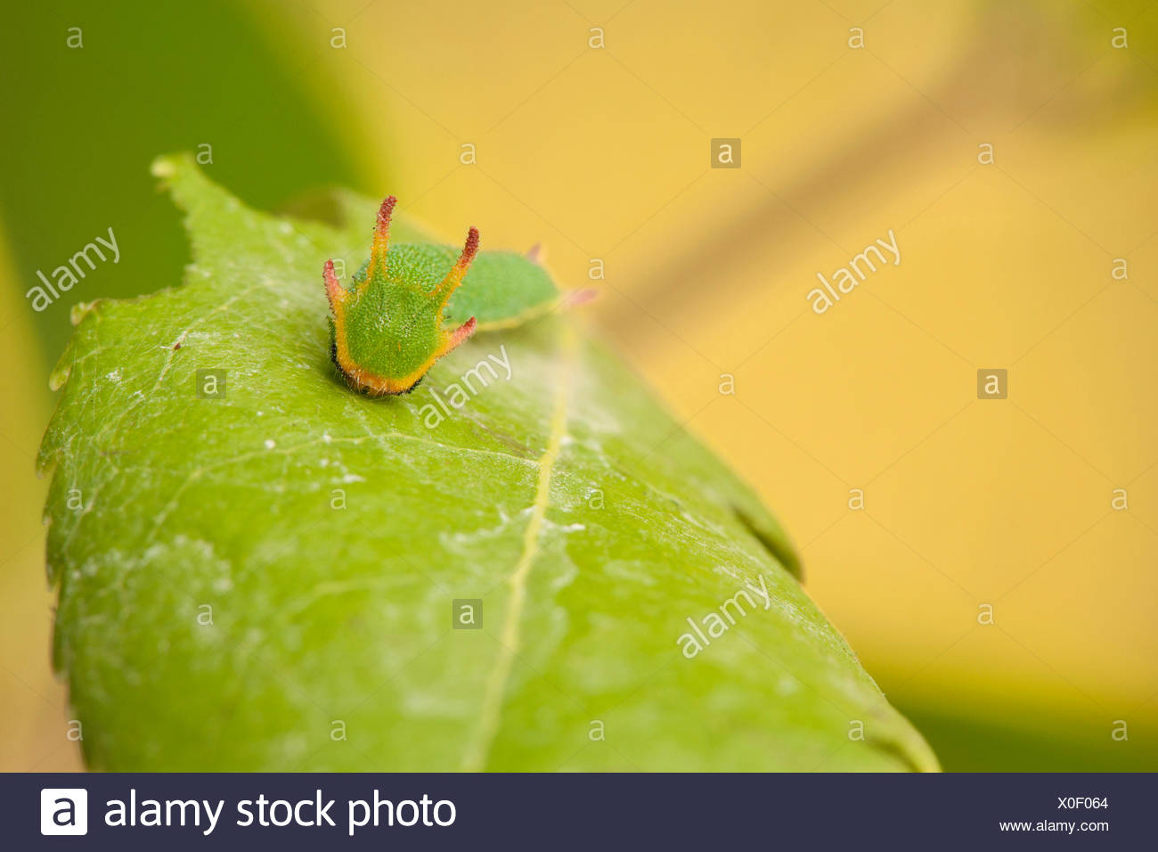 two-tailed pasha (Charaxes jasius), caterpillar on a leaf - Stock Image