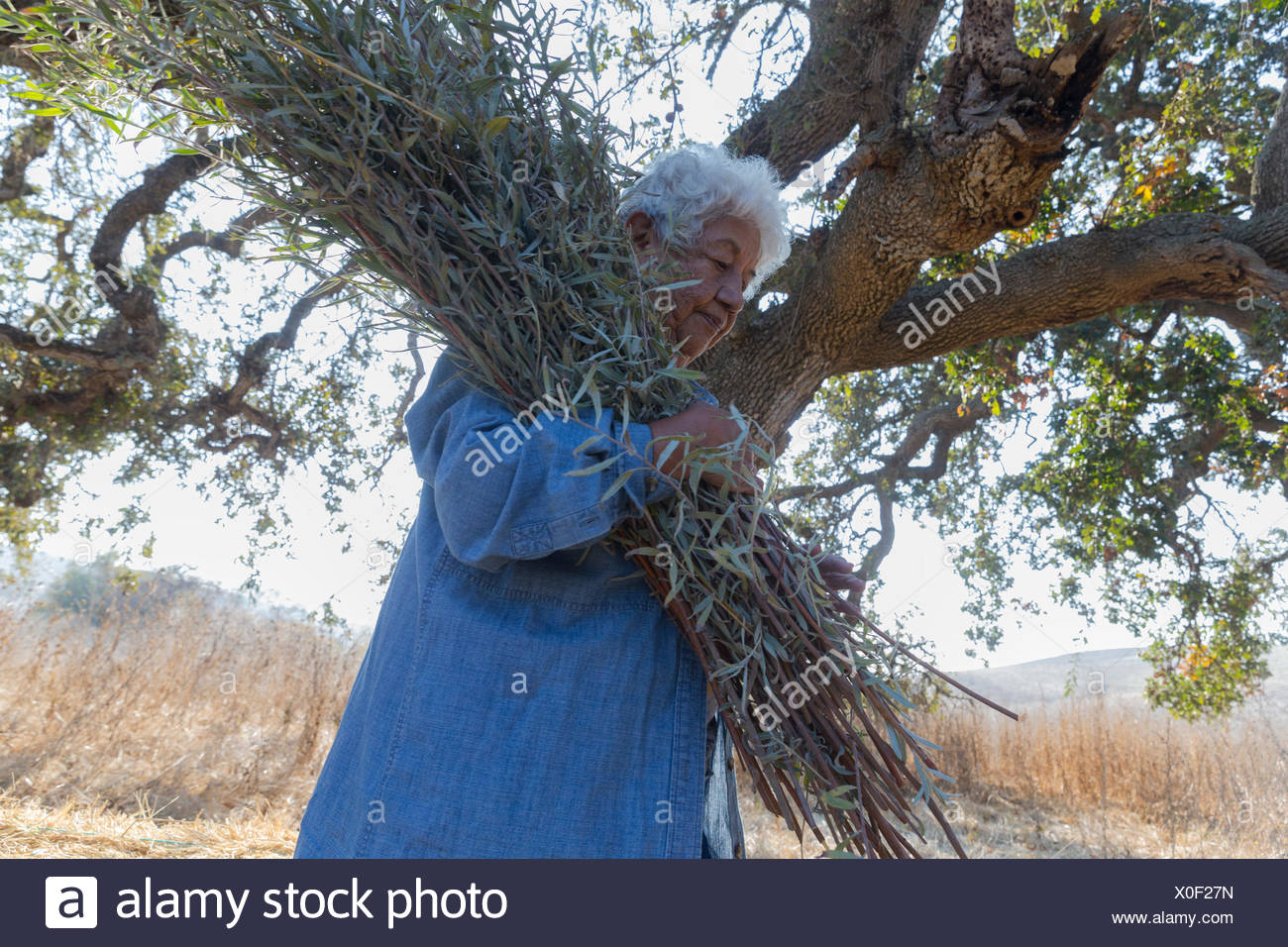 senior female member of Federated Indians of Graton Rancheria collect gray willow for basket making at Tolay Creek,California,USA - Stock Image