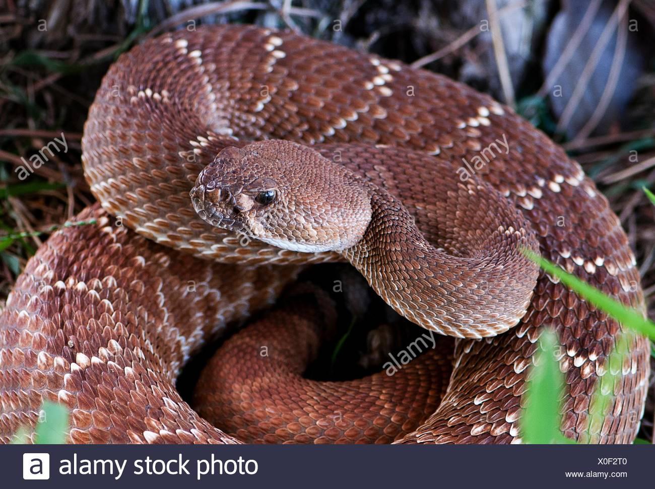 Pacific rattlesnake, (Crotalus oreganus), California, USA - Stock Image