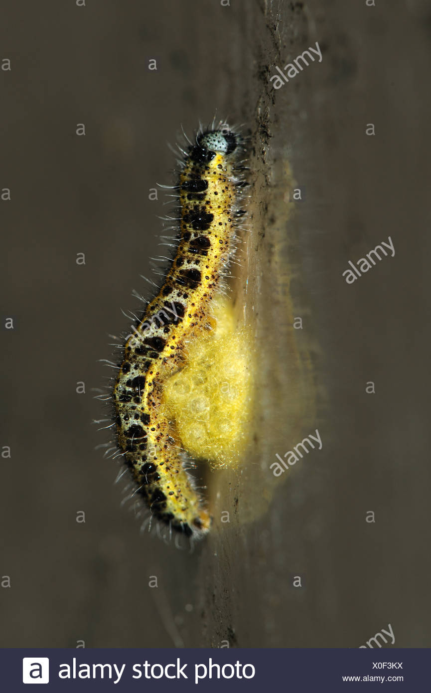 Pupal cocoons of parasitoid wasp Cotesia glomerata attached to their host caterpillar - Stock Image