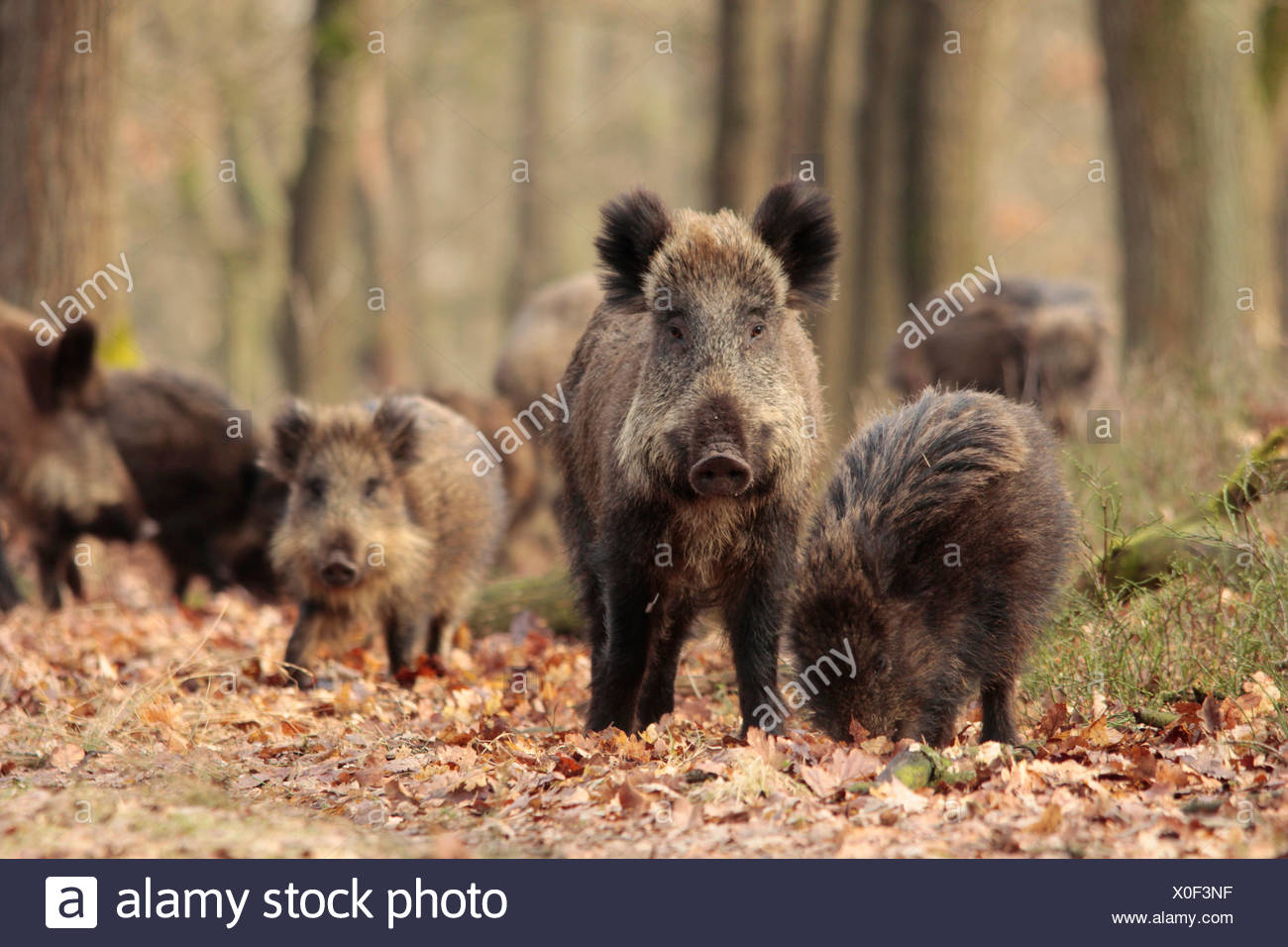 Wild boars (Sus scrofa) in an oak forest at winter. - Stock Image