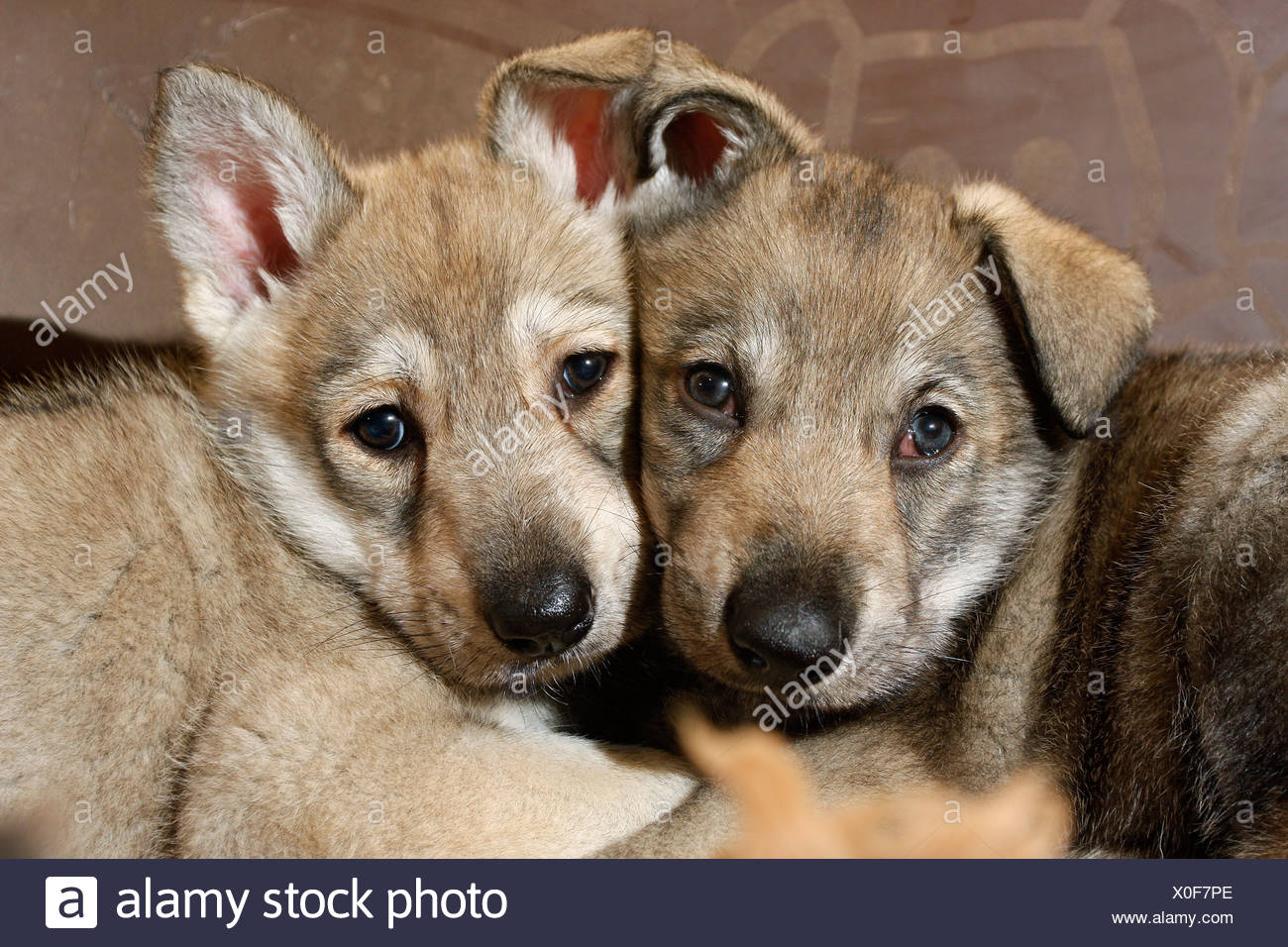Saarloos Wolfdog (Canis lupus f. familiaris), puppies looking shyly Stock Photo