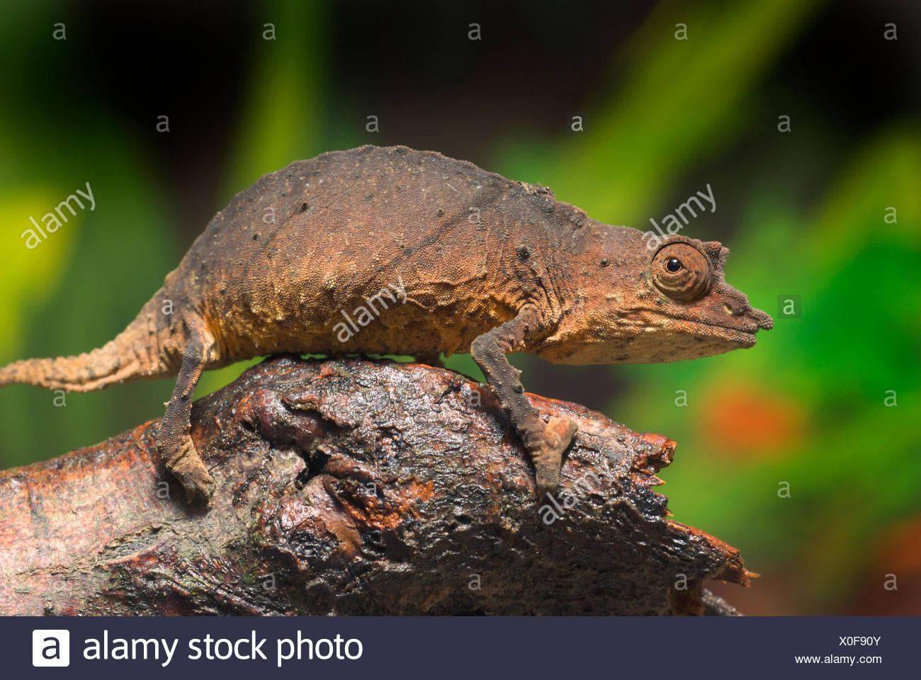 Leaf chameleon, Cameroon stumptail chameleon, Spectral Pygmy Chameleon (Rhampholeon spectrum), on a branch - Stock Image