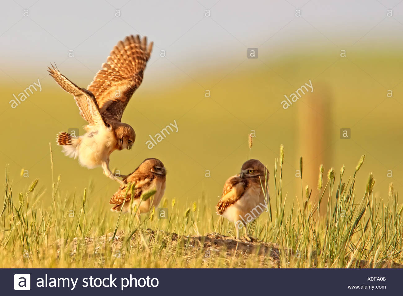 Digitally enhanced image with painterly effect of Burrowing owls playing outside burrow at sunset, Grasslands National Park, SK - Stock Image