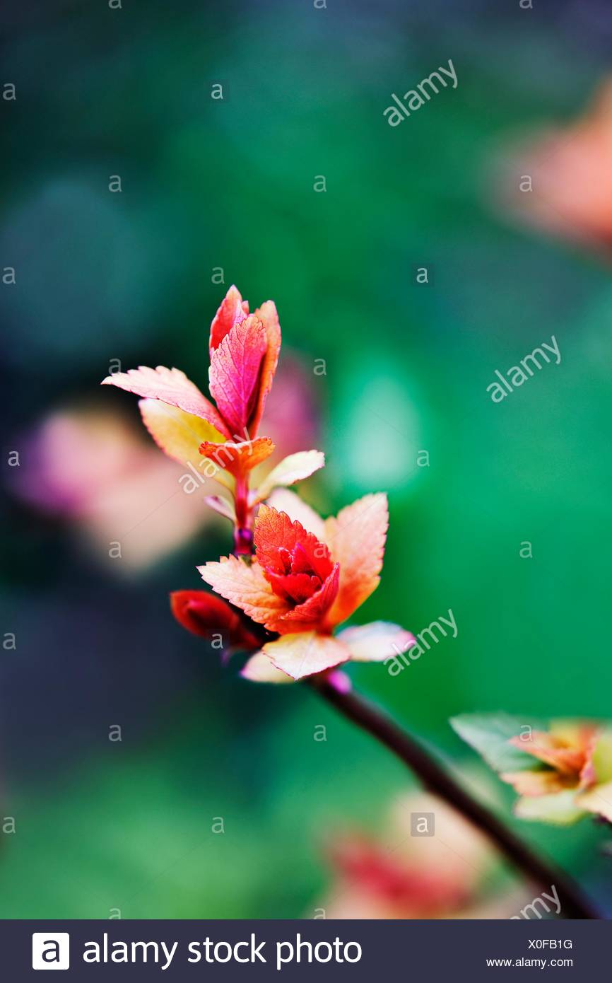 Spiarea variety Gold flame garden shrub showing new colourful spring growth - Stock Image