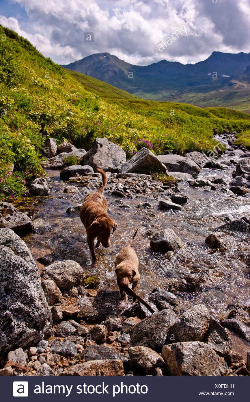 An adult and puppy Chesapeake Bay Retreiver retreiving a stick out of a stream, Hatcher Pass, Alaska - Stock Image