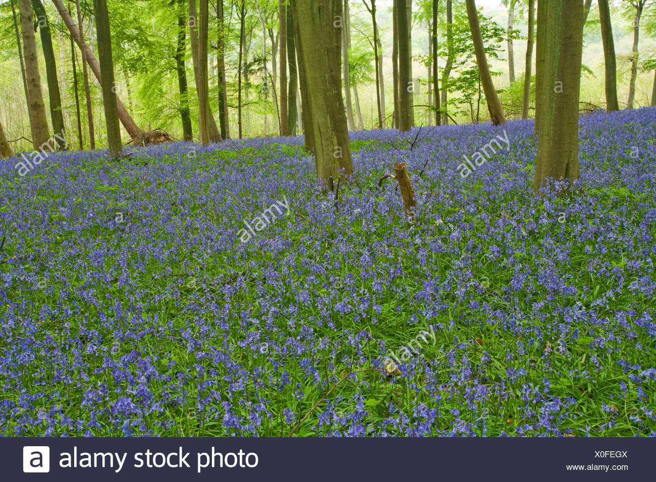 Spring bluebells in the beech woodland on the Chiltern Hills above Mapledurham, Oxfordshire, Uk - Stock Image