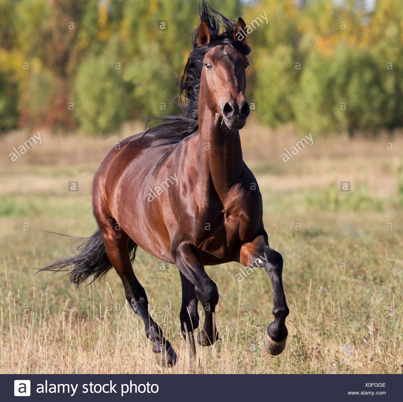 Andalusian stallion running, Longmont, Colorado, USA. - Stock Image