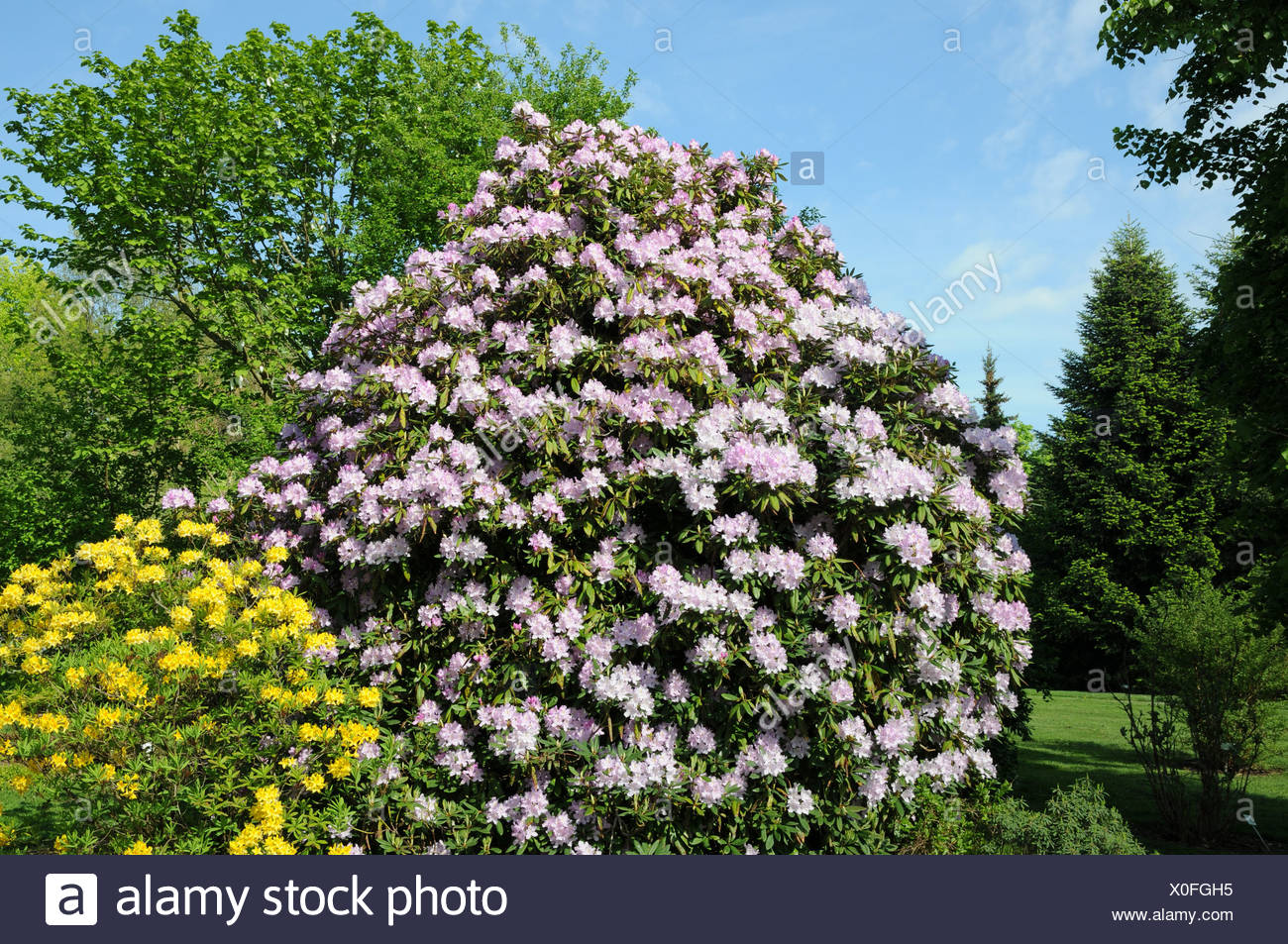 Rhododendron ponticum, Rhododendron luteum - Stock Image