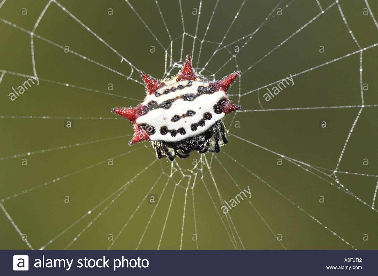 Spiny-backed Orbweaver - Gasteracantha elipsoides cancriformis Stock Photo