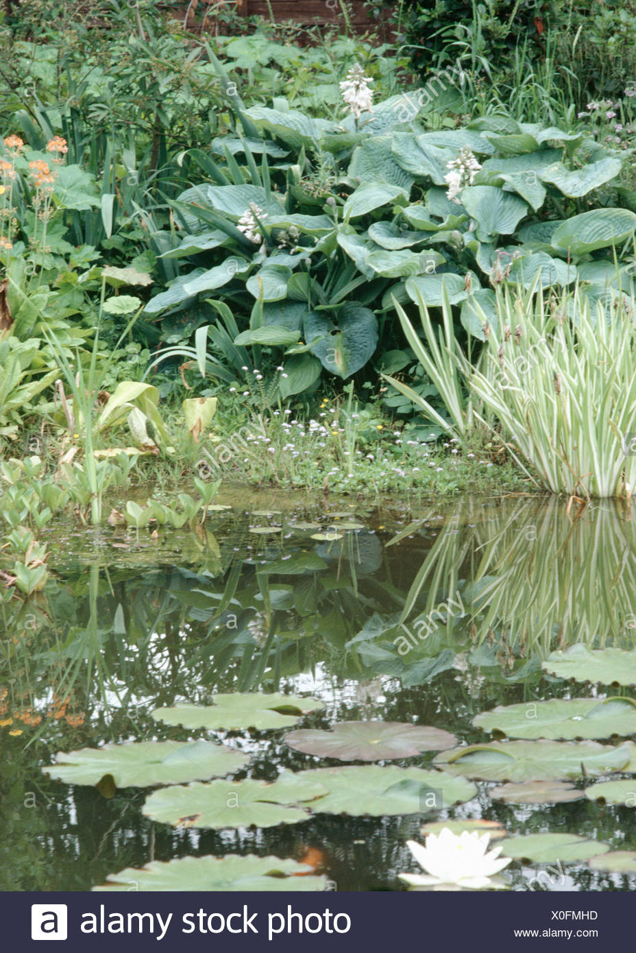 Large Hostas Growing Beside A Pool With Variegated Iris Foliage And