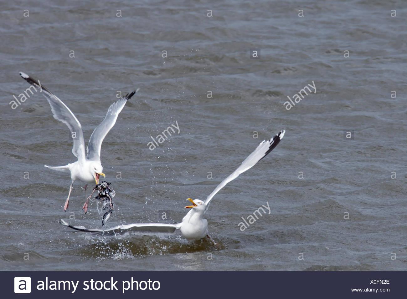 European Herring Gulls (Larus argentatus) fighting over food, Minsener Oog island, East Frisian Islands, Lower Saxony Wadden Sea - Stock Image
