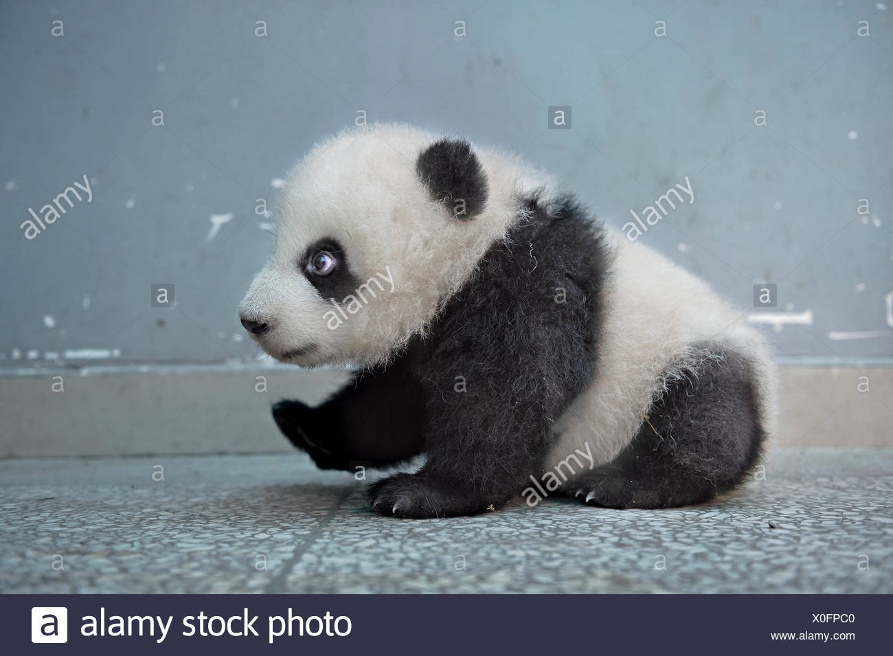 A giant baby panda cub at the Bifengxia Giant Panda Breeding and Research Center. - Stock Image