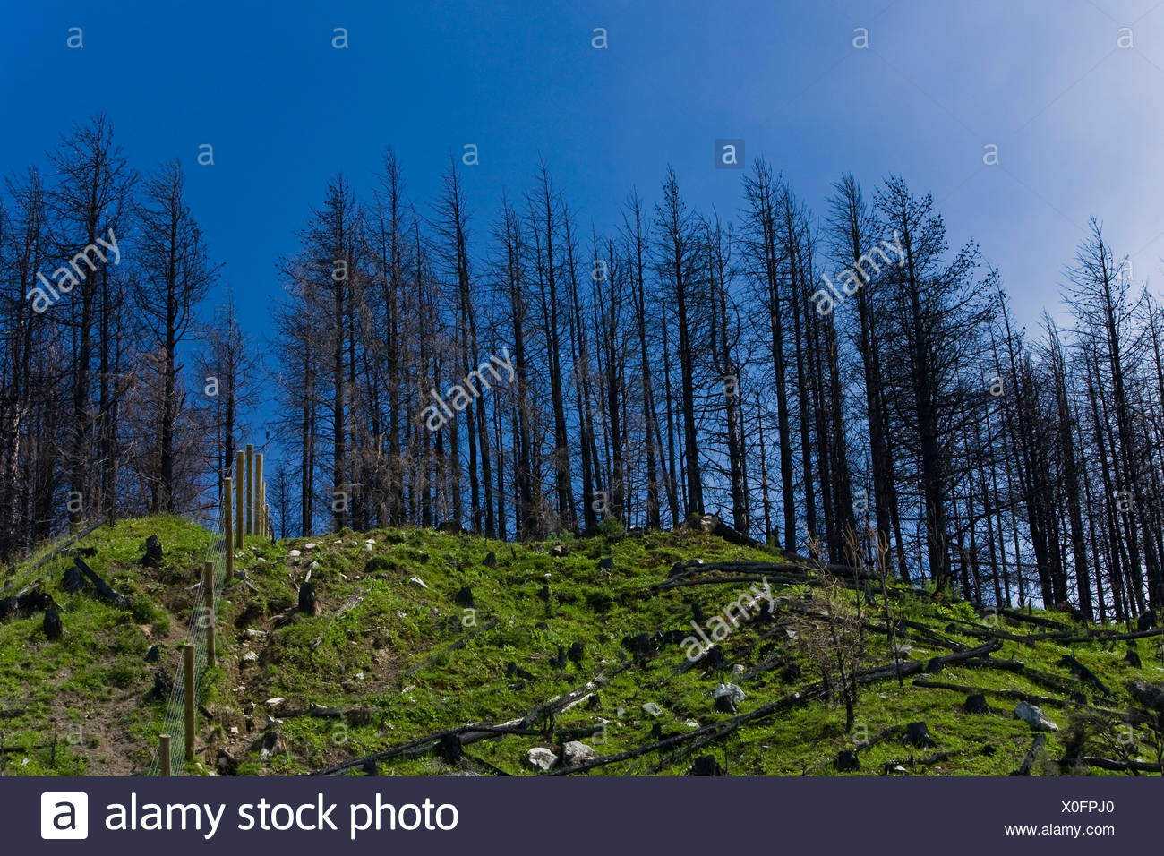 Deforestation area with scraggy trees and stumps, Lake Pukaki, South Island, New Zealand - Stock Image
