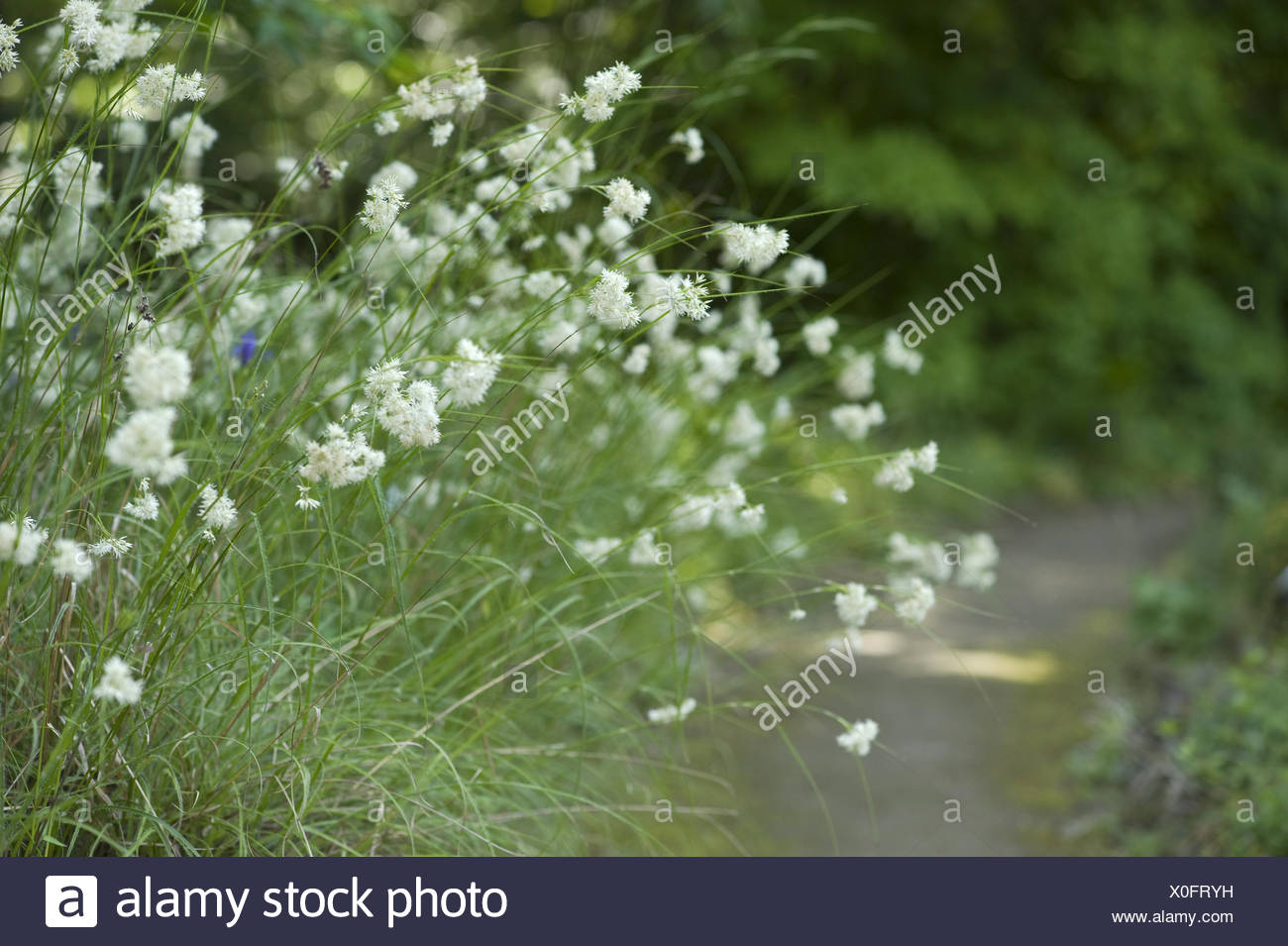 lesser wood-rush, luzula nivea - Stock Image