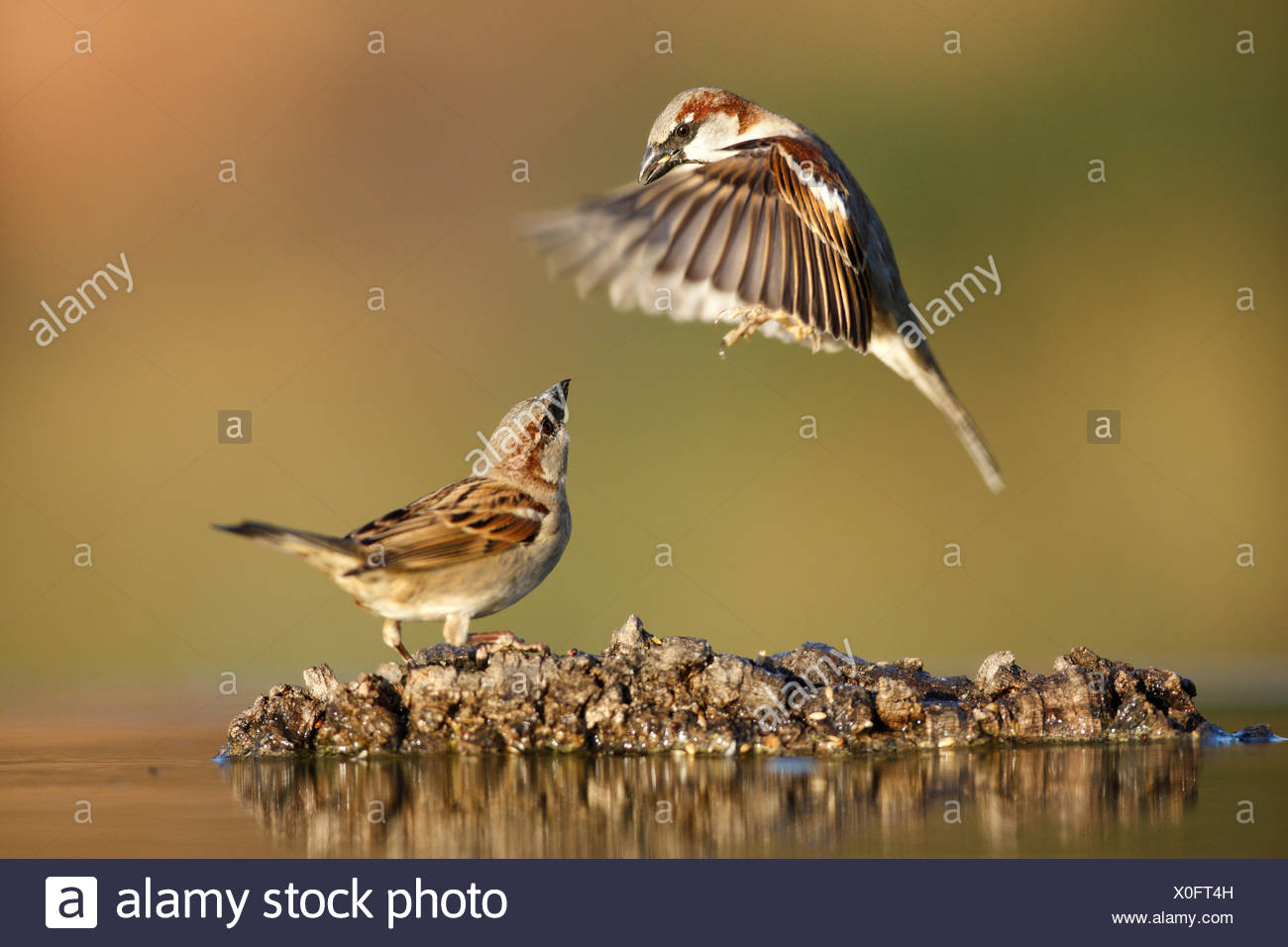 Common sparrow (Passer domesticus) landing next to another sparrow near water, Alicante, Spain Stock Photo