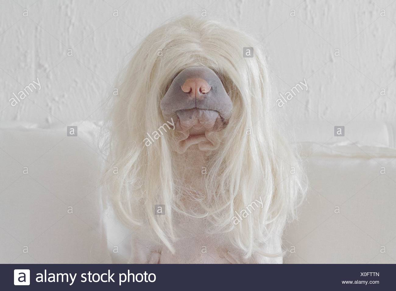 Dog wearing a long blonde wig - Stock Image