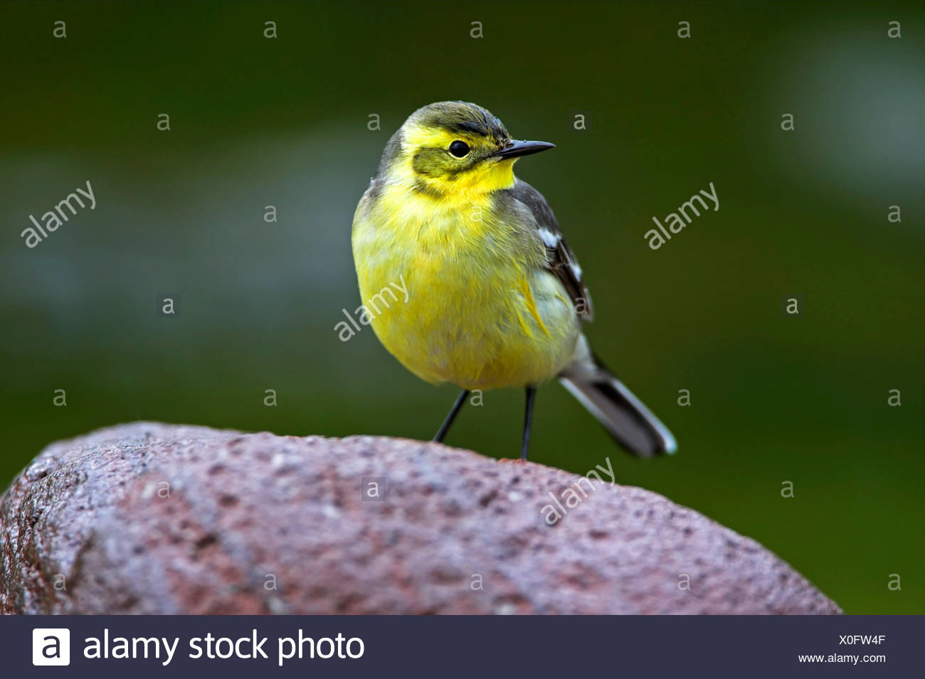 citrine wagtail (Motacilla citreola), sitting on a stone, Greece, Lesbos - Stock Image